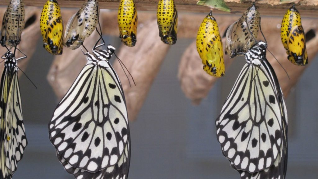 vlinder in zijn cocon